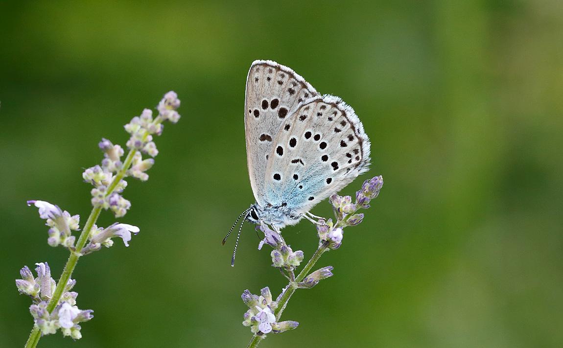 Large Blue_J4X5934