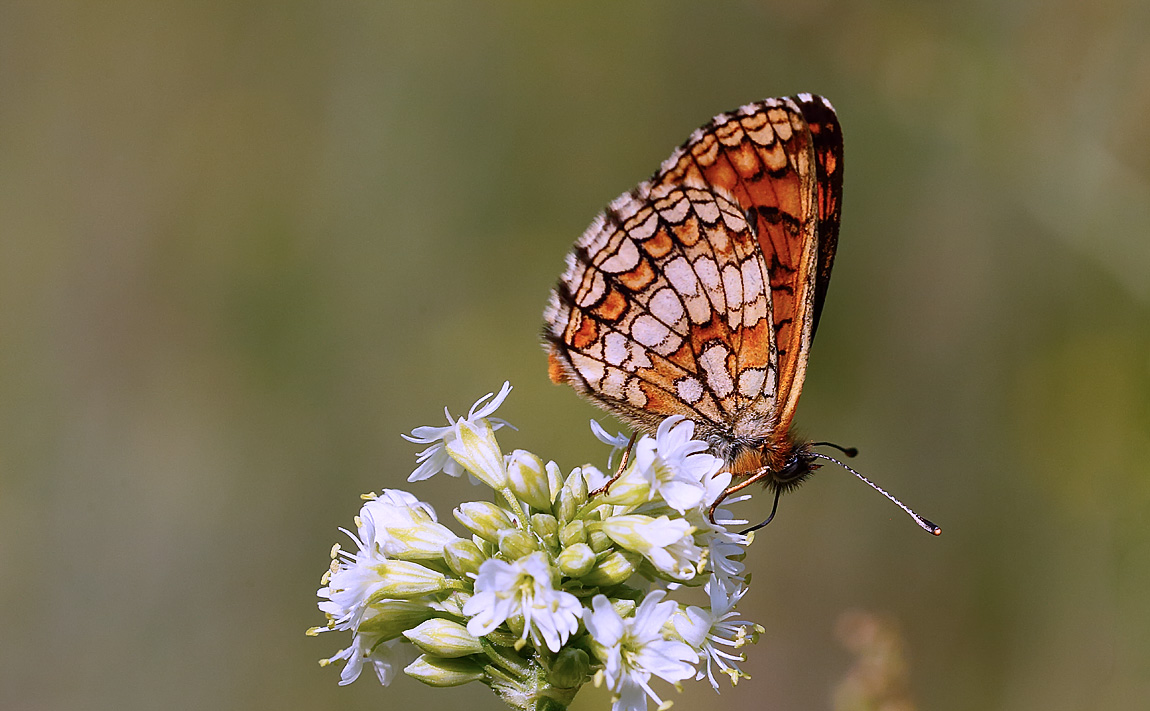 Nickerl's Fritillary_J4X5813