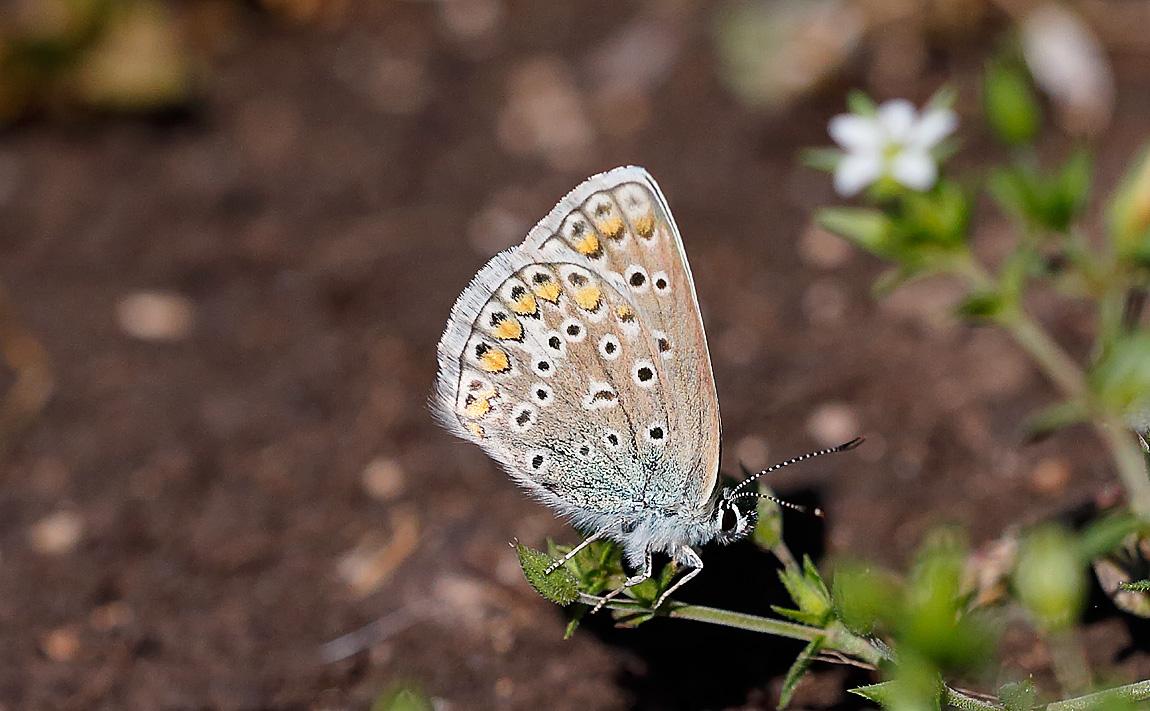 Phalacron Blue_J4X5201