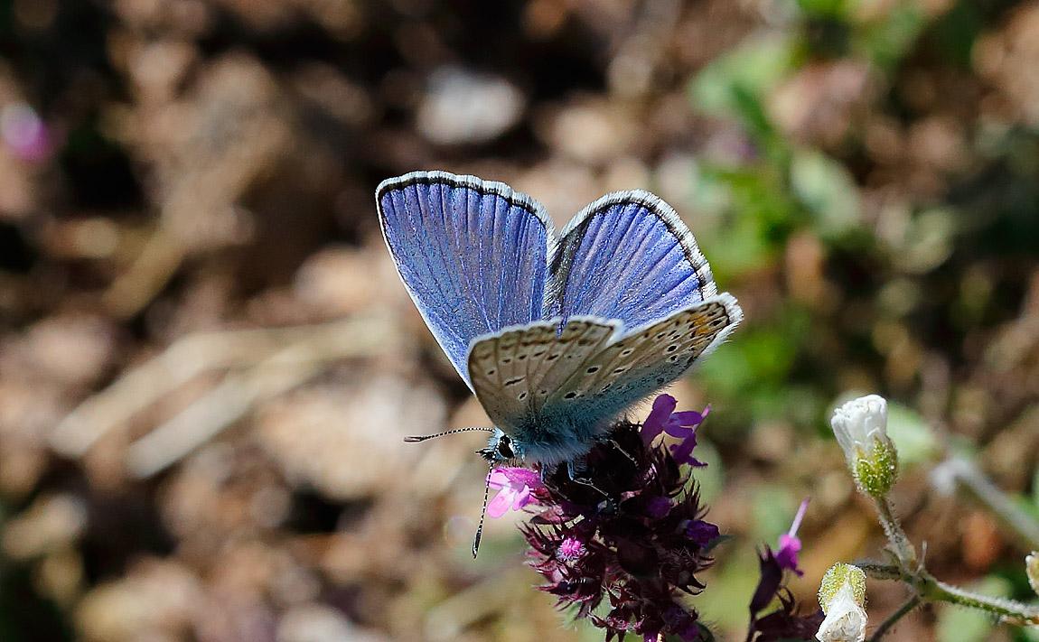 Phalacron Blue_J4X5259