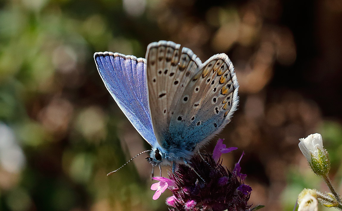 Phalacron Blue_J4X5261