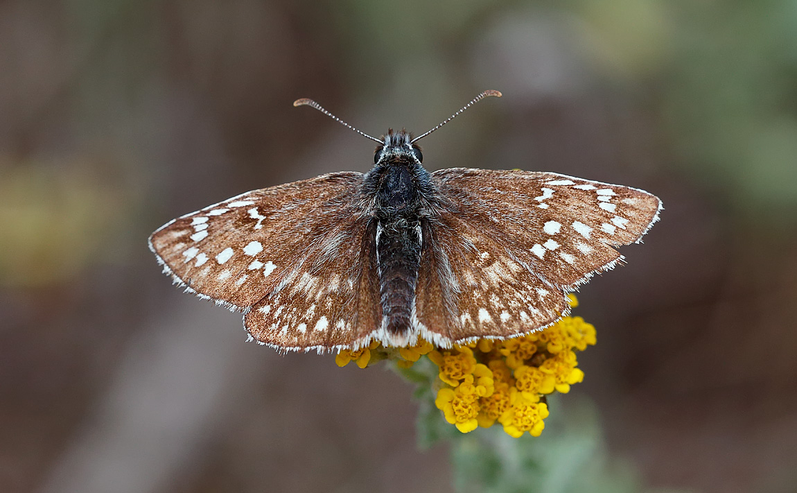 Yellow-banded Skipper_J4X4607