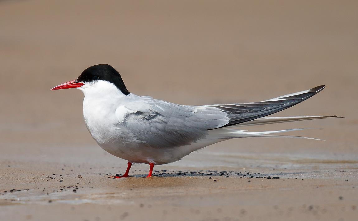 Arctic Tern_J4X9106