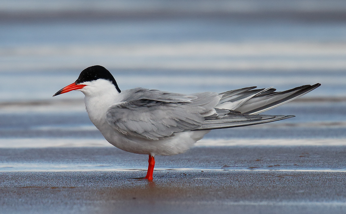 Common Tern_J4X8420