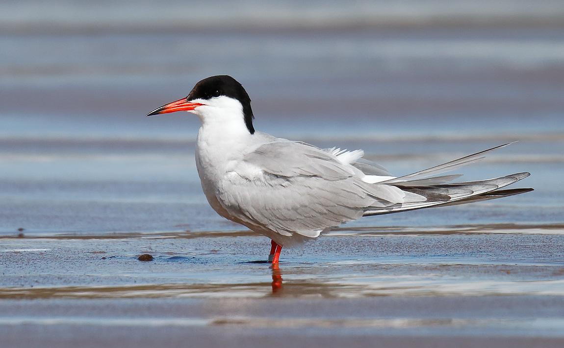 Common Tern_J4X8438