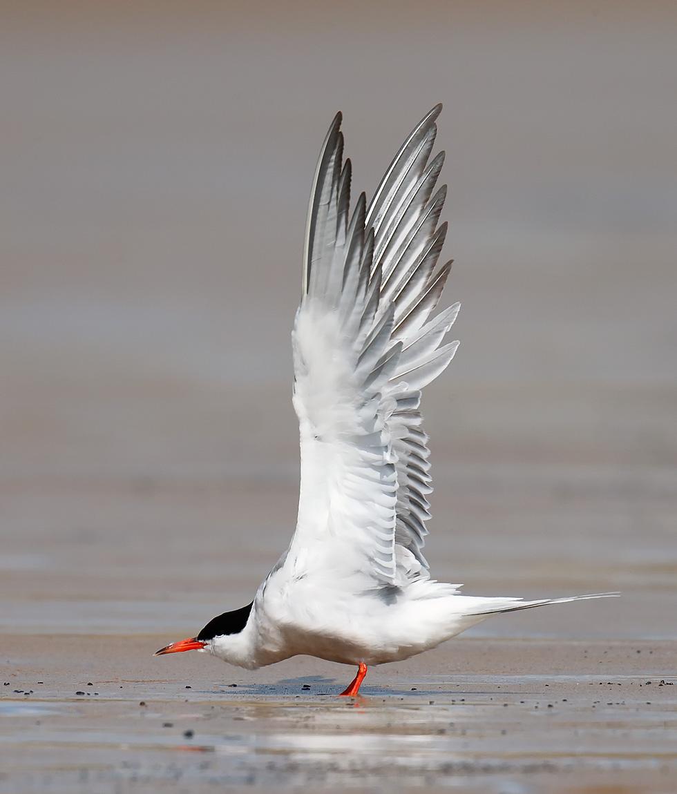 Common Tern_J4X8558