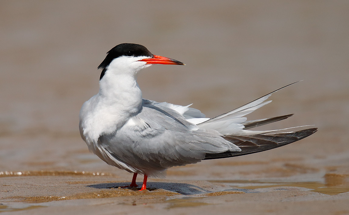 Common Tern_J4X8930
