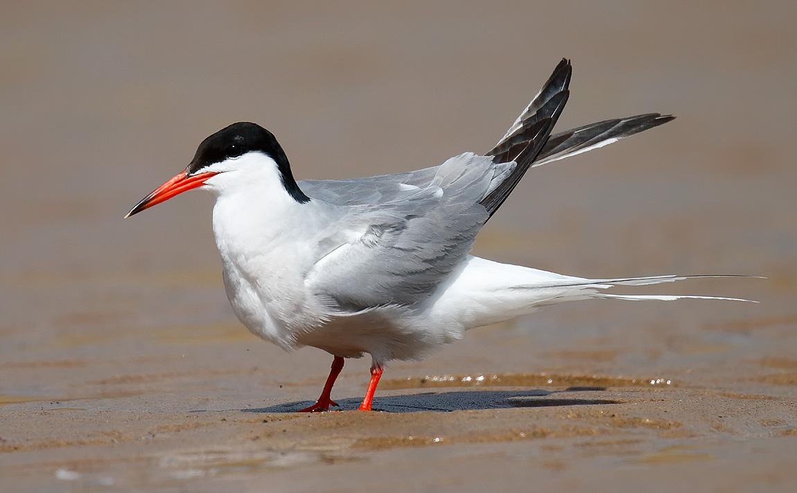 Common Tern_J4X8980