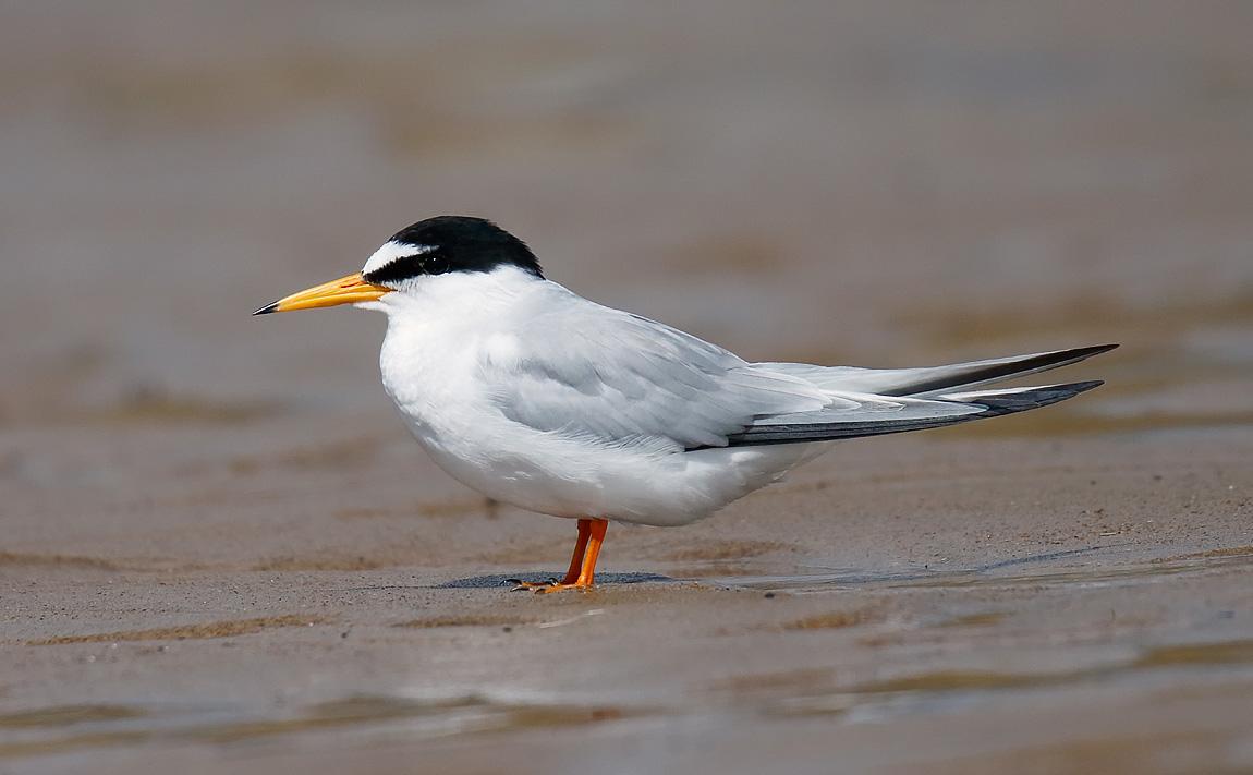 Little Tern_J4X8909