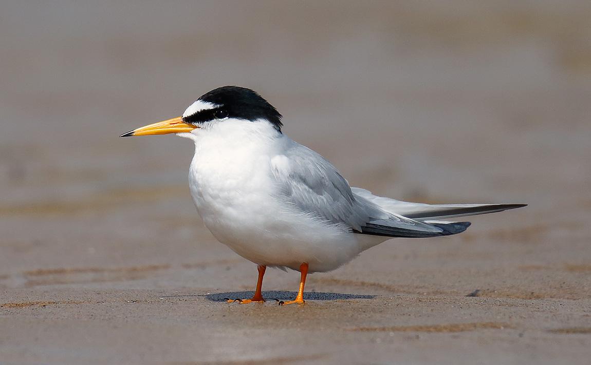 Little Tern_J4X8926