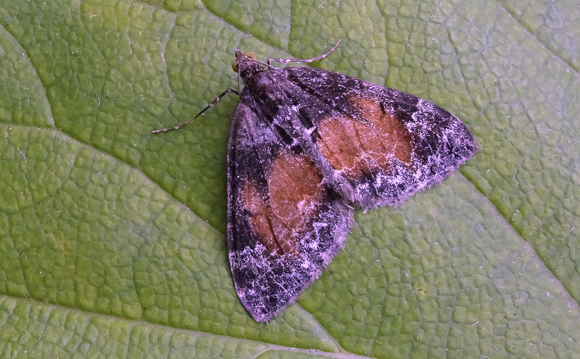 Common Marbled Carpet 2751168