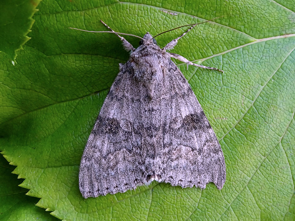 Red Underwing1169