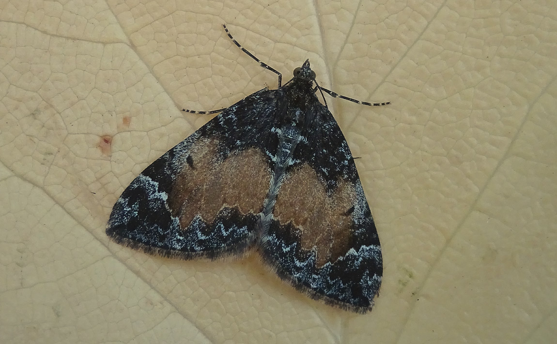 Common Marbled Carpet4991211