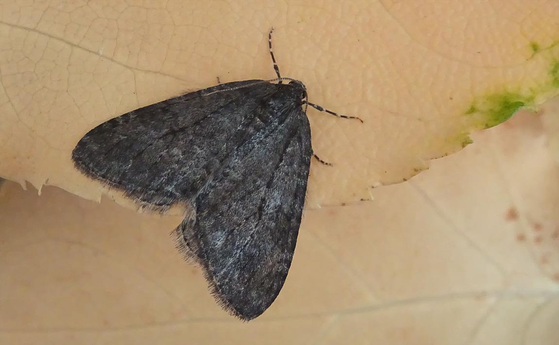 November Moth 5041212