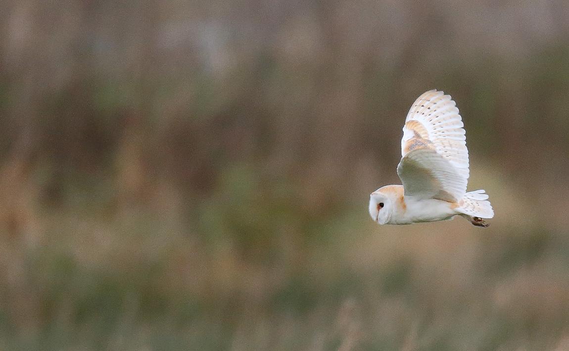 Barn Owl_J4X3254