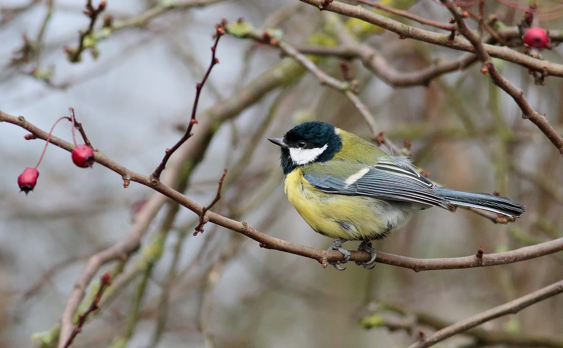 Great Tit_S1Q1806