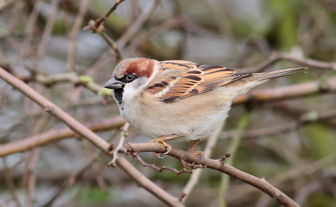 House Sparrow_S1Q1701