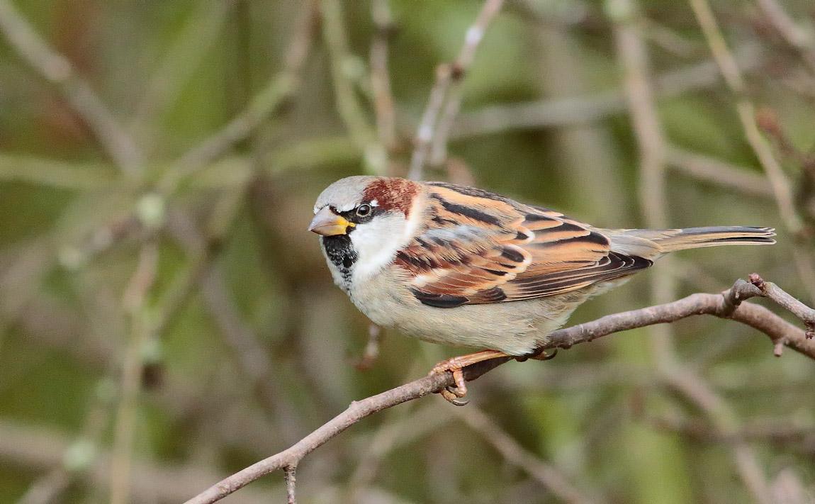 House Sparrow_S1Q1782