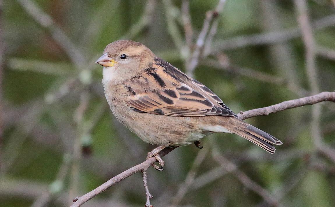 House Sparrow_S1Q1785