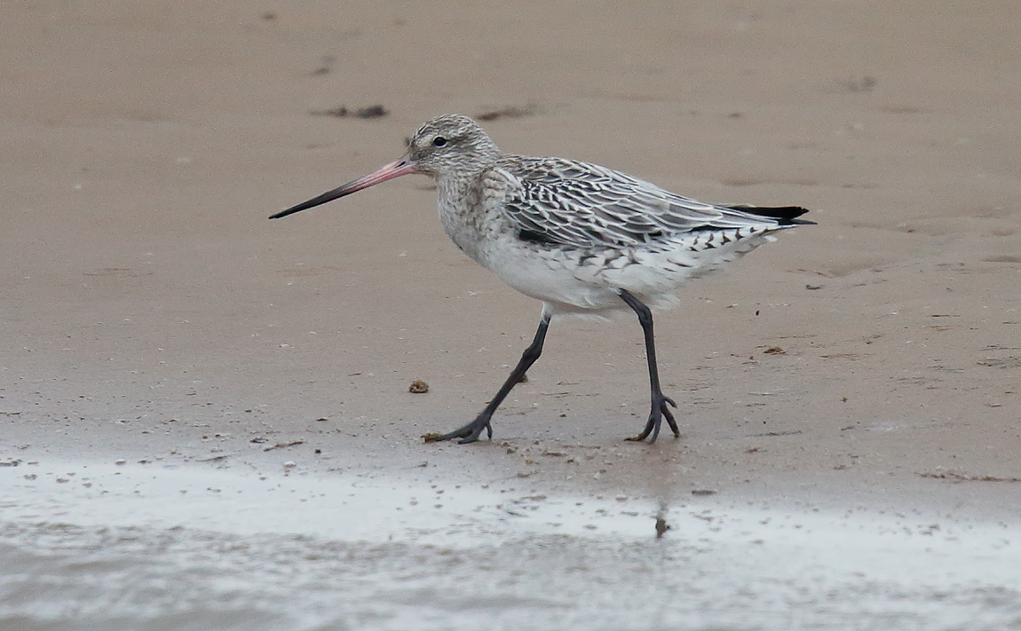 Bar Tailed Godwit_J4X3570