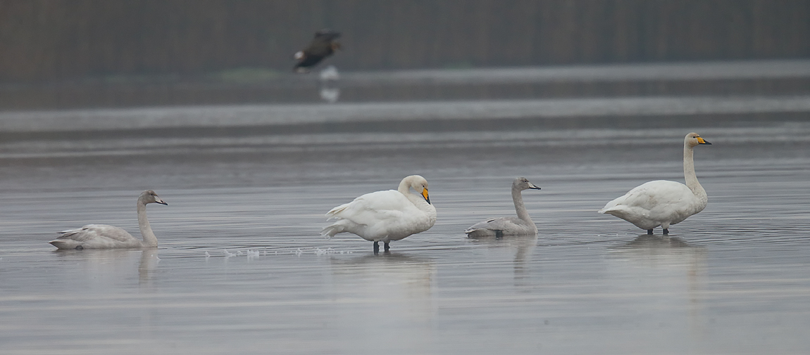 Whooper Swan_J4X4049