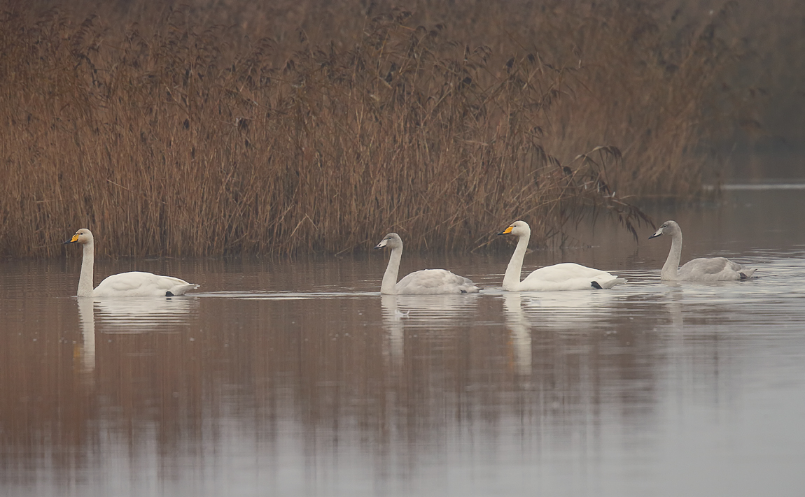 Whooper Swan_J4X4056