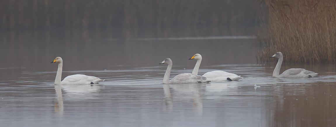 Whooper Swan_J4X4060
