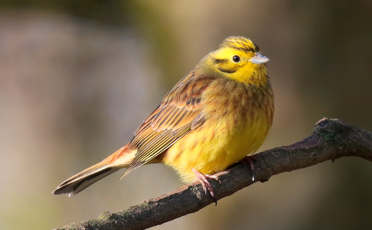 early bird catches the yellowhammer tonydavisonphotography com