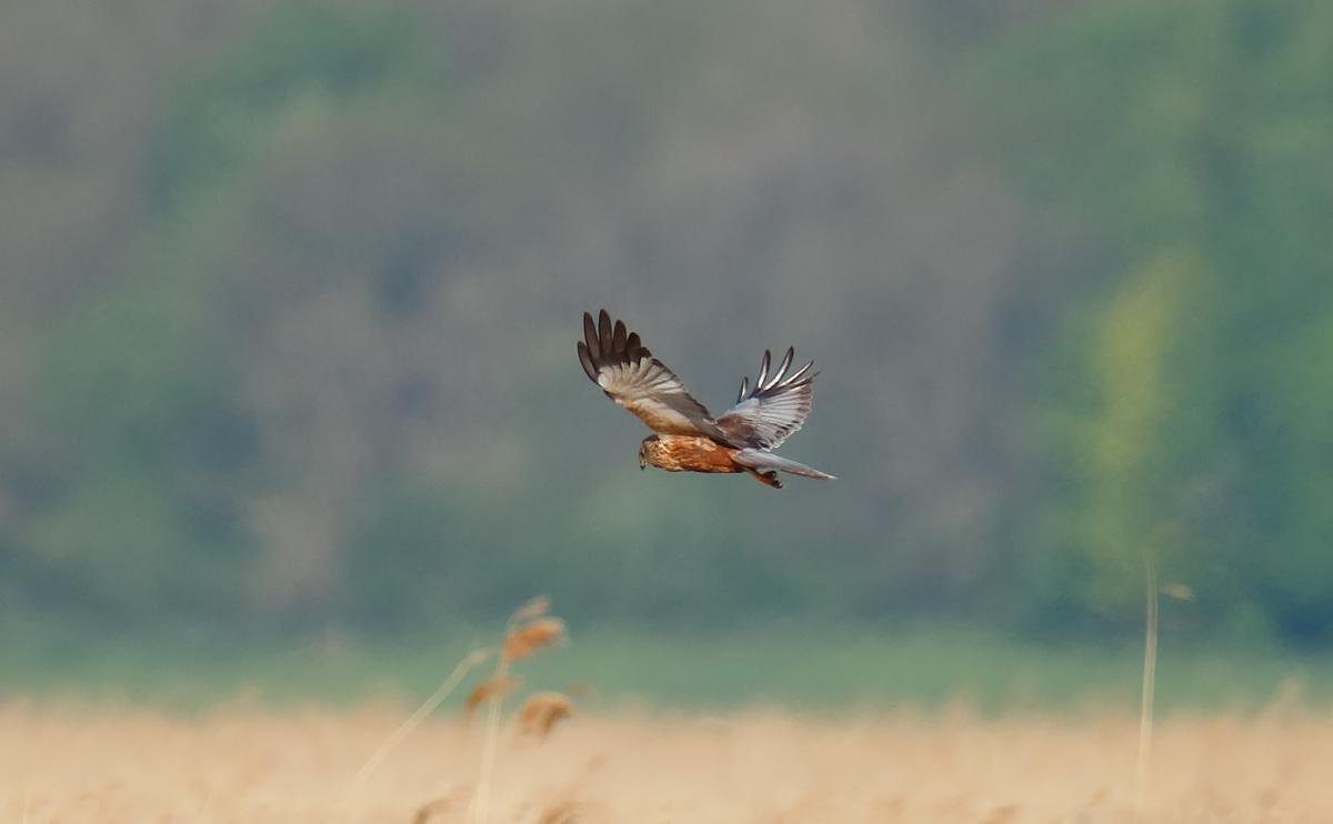 Marsh Harrier_J4X1381