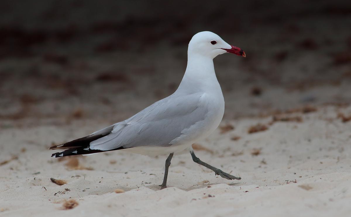Audouin's Gull _S1Q4543