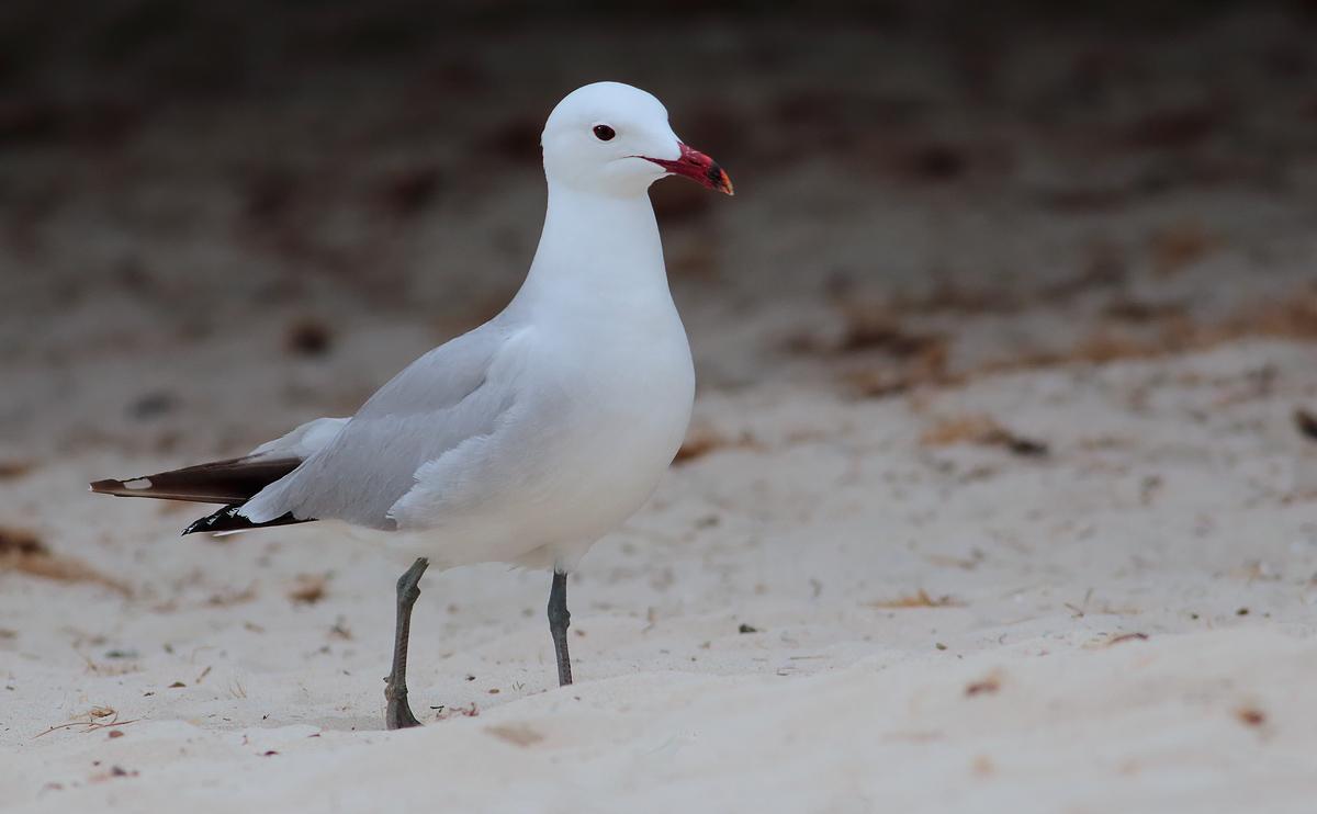 Audouin's Gull _S1Q4546
