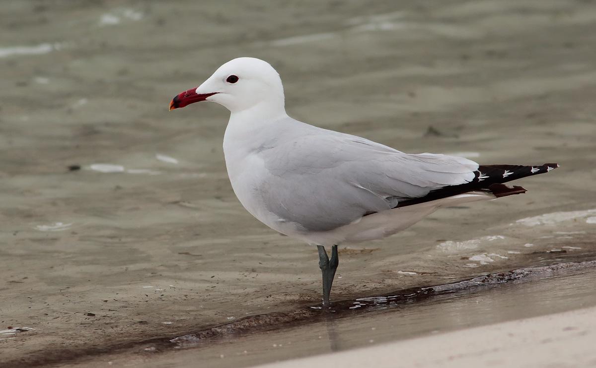 Audouin's Gull _S1Q4597