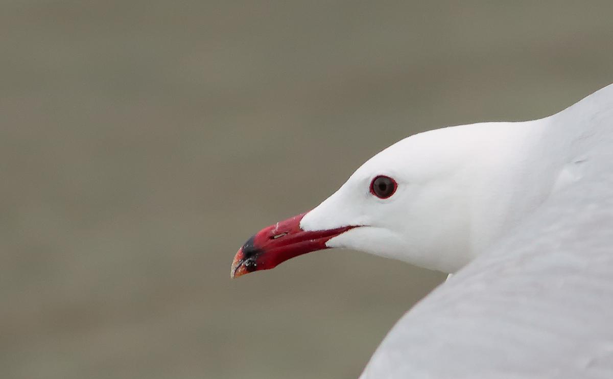 Audouin's Gull _S1Q4612