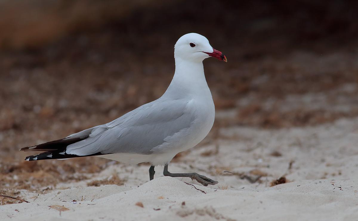 Audouin's Gull_S1Q4536