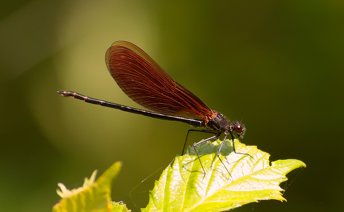 Copper Demoiselle_S1Q4995