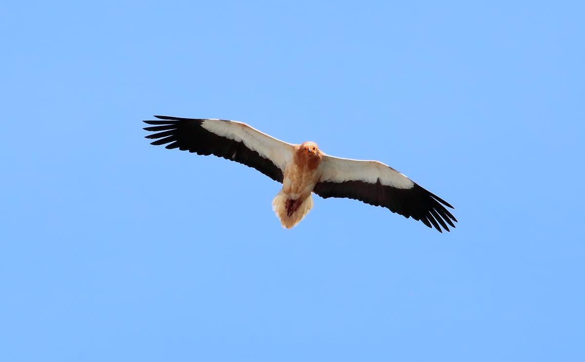 Egyp Vulture_S1Q4701