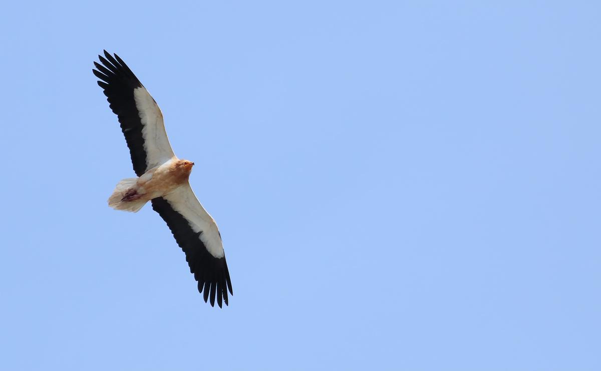 Egyp Vulture_S1Q4702