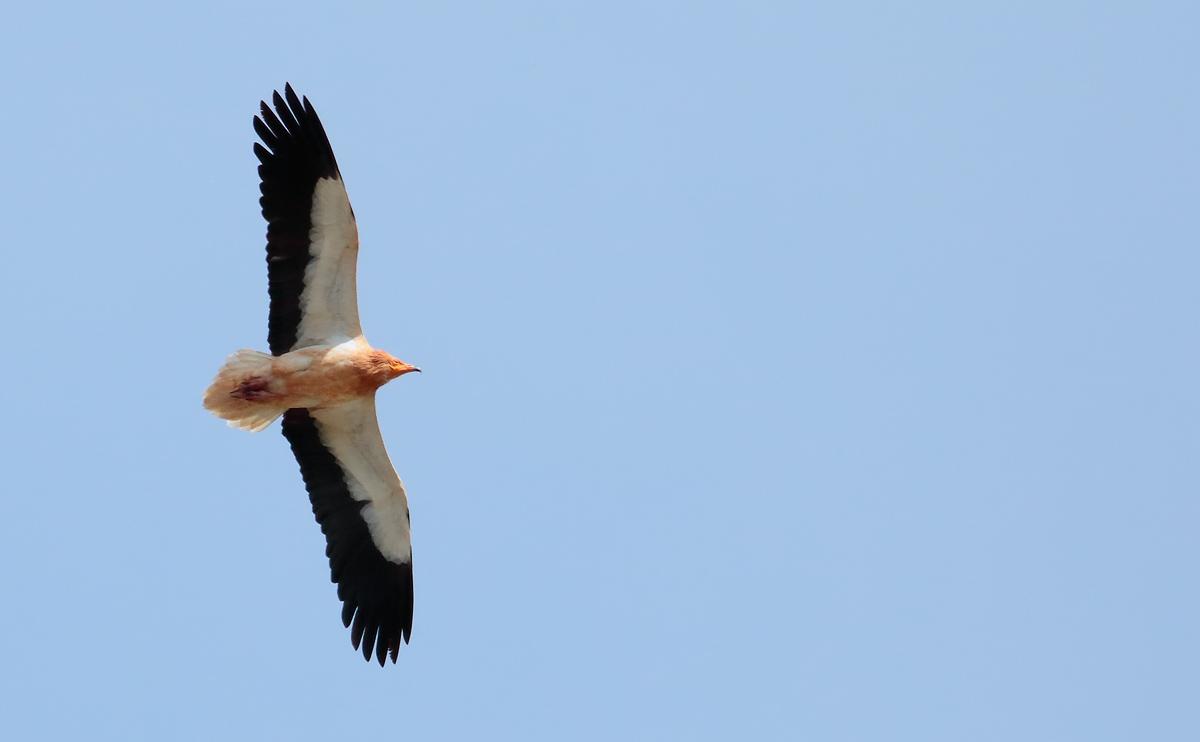 Egyp Vulture_S1Q4714