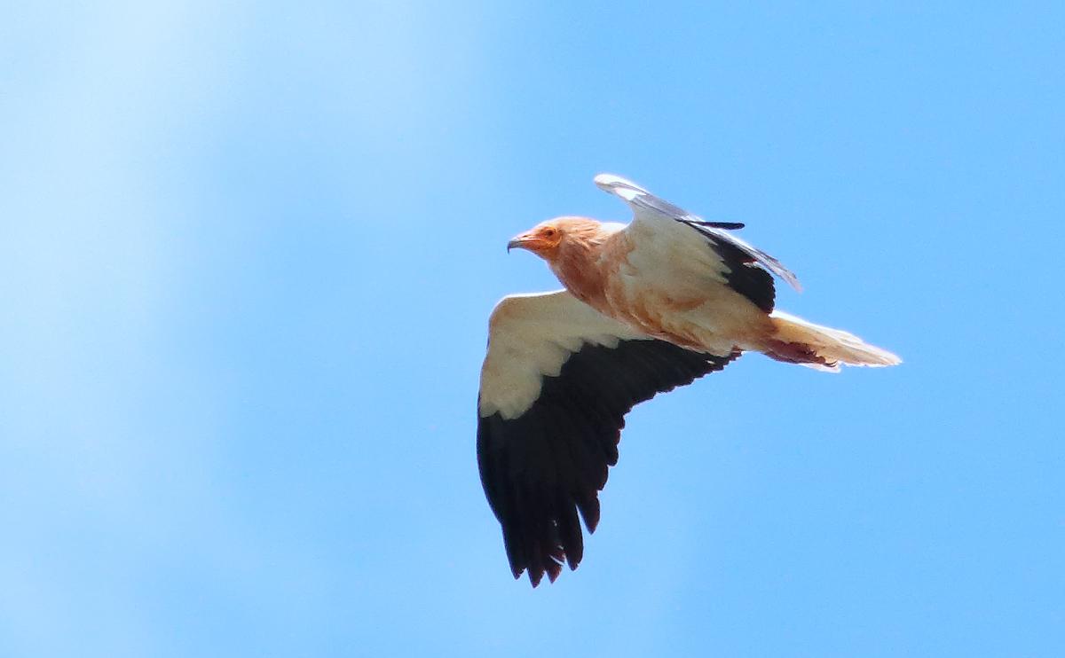Egyp Vulture_S1Q4851