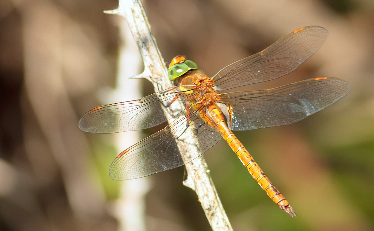 Green-eyed Hawker_S1Q4651