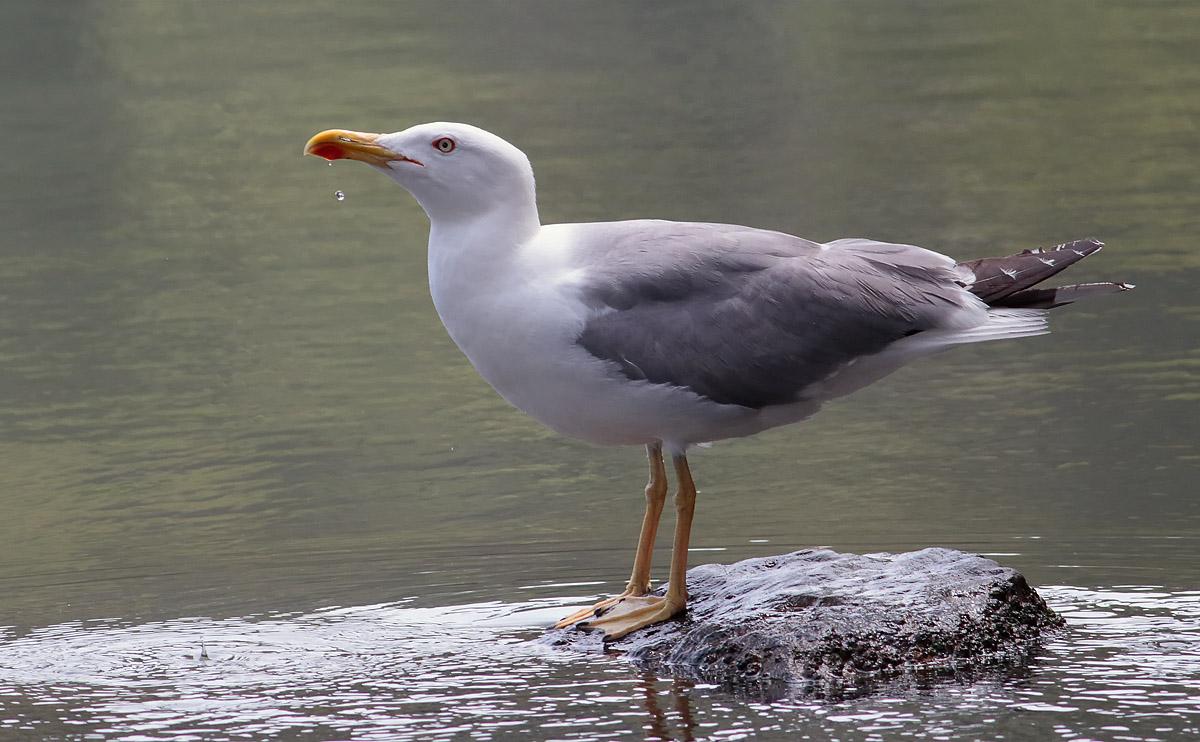 Yellow-legged Gull_S1Q5351