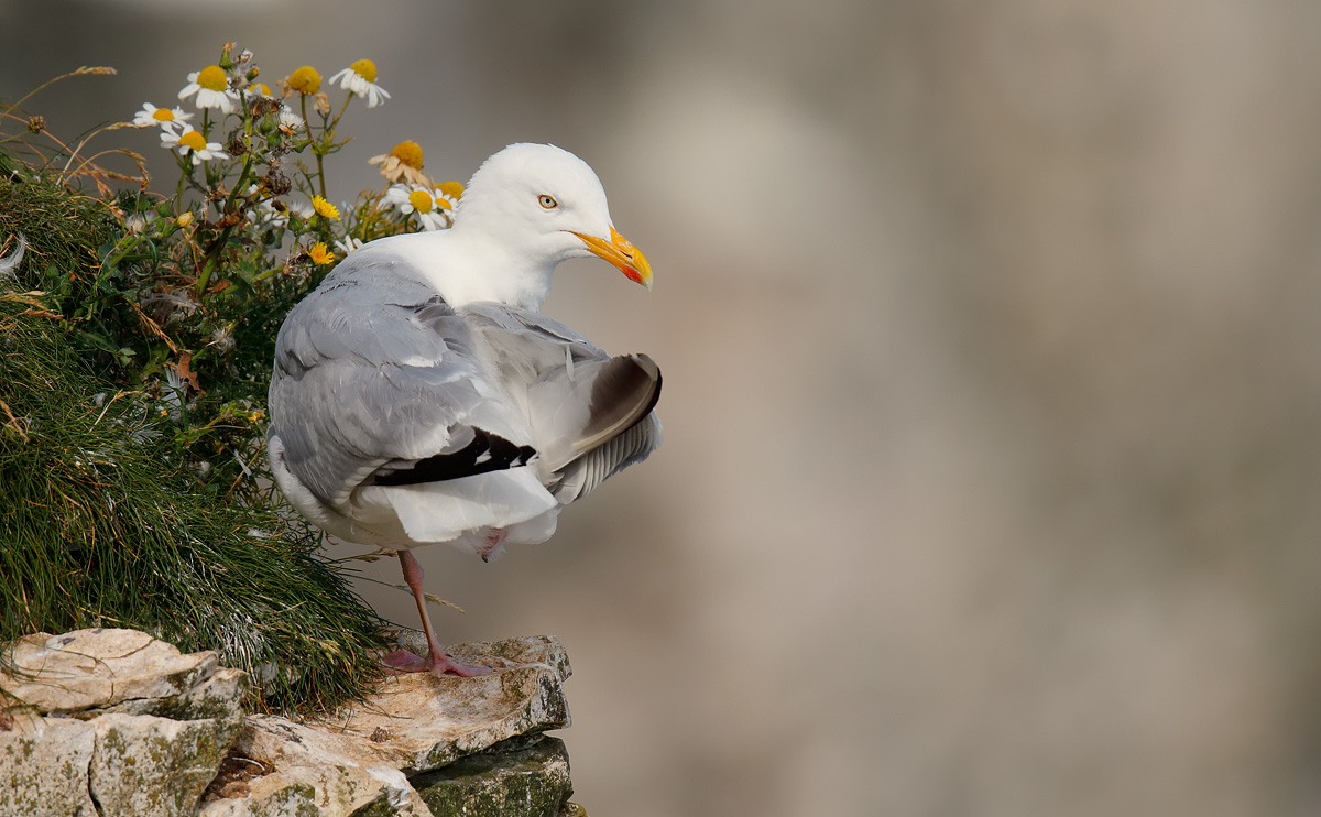 Herring Gull_J4X4141