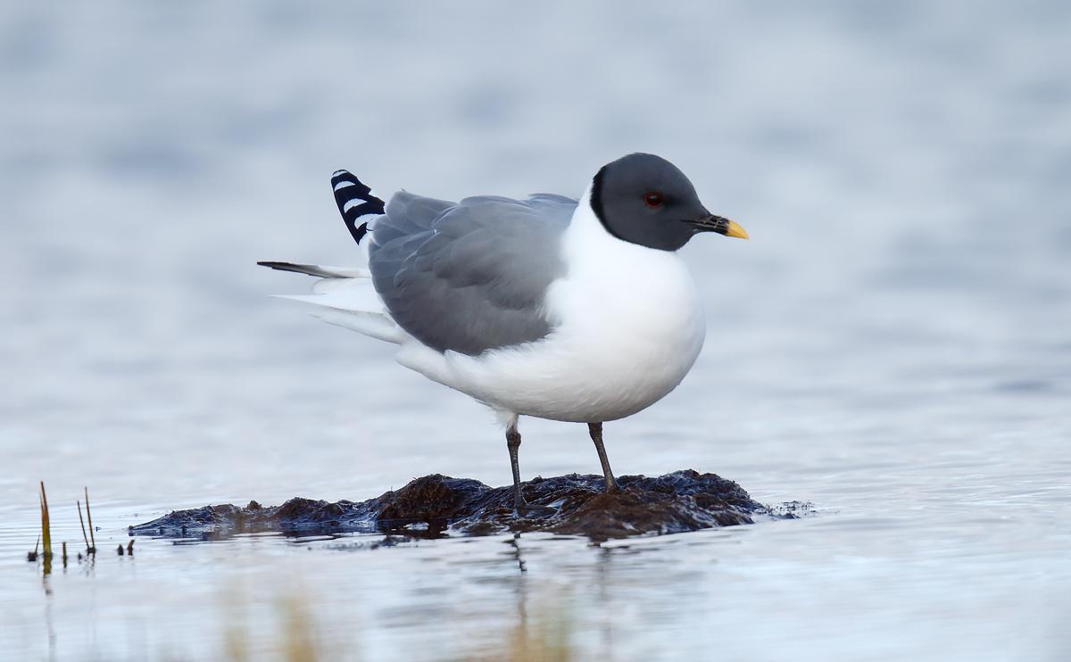 Sabine's Gull_J4X1551