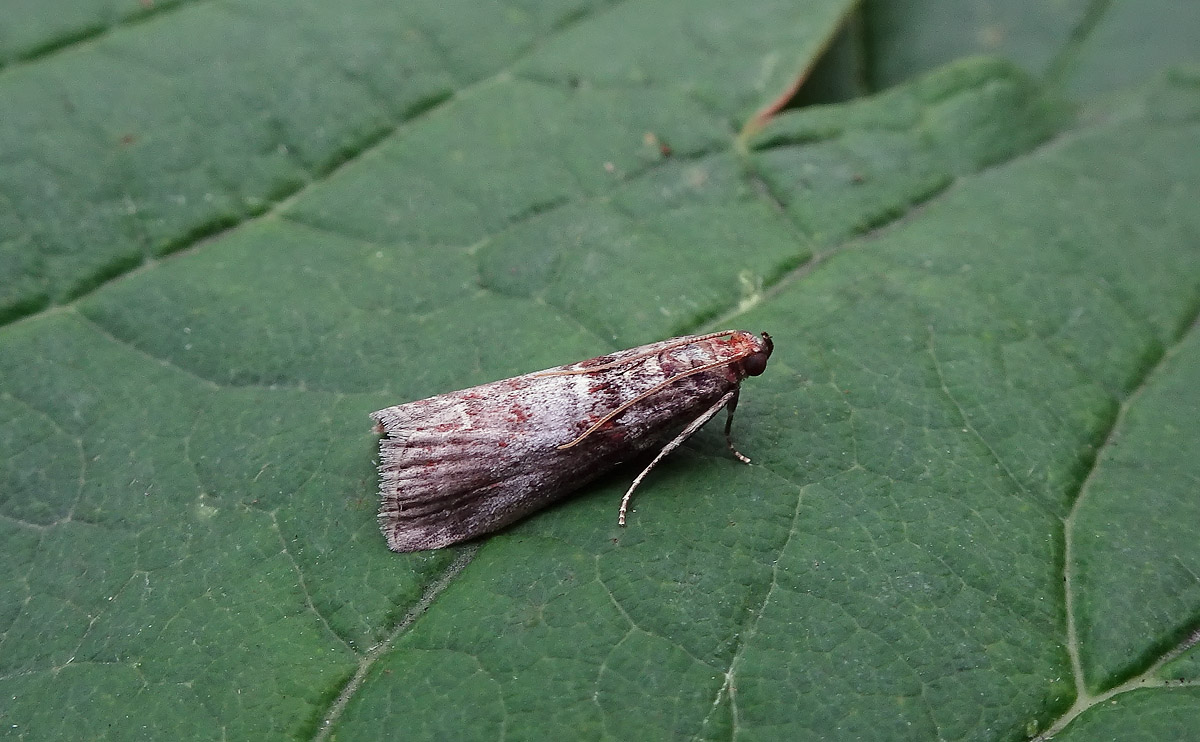 Acrobasis advenella DSC00963