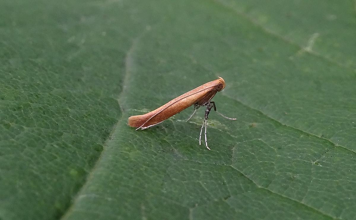 Caloptilia rufipennella DSC00975