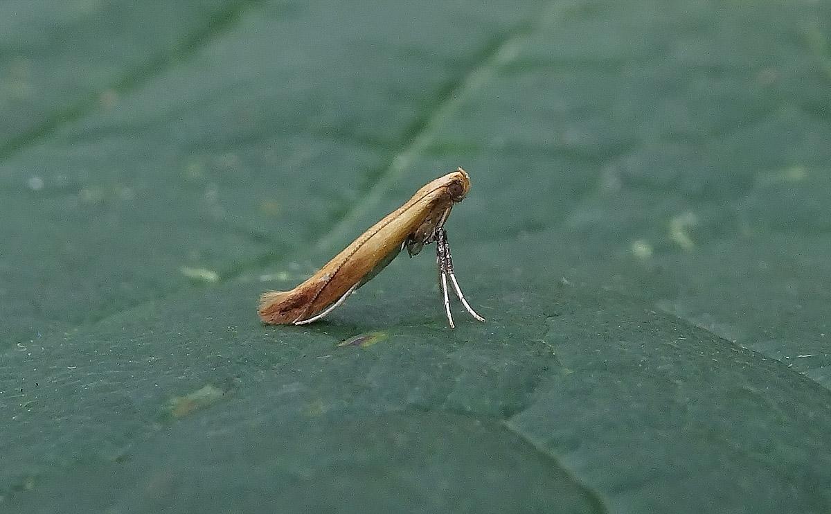 Caloptilia rufipennella DSC00985