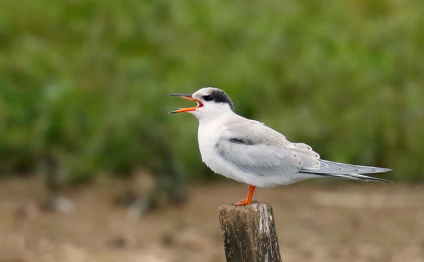 Common Tern_J4X5045