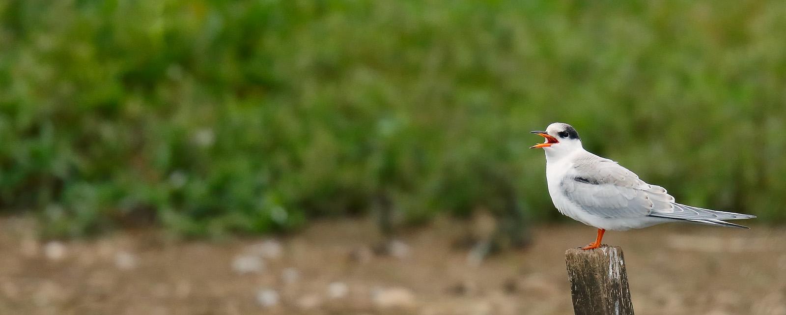 Common Tern_J4X5050