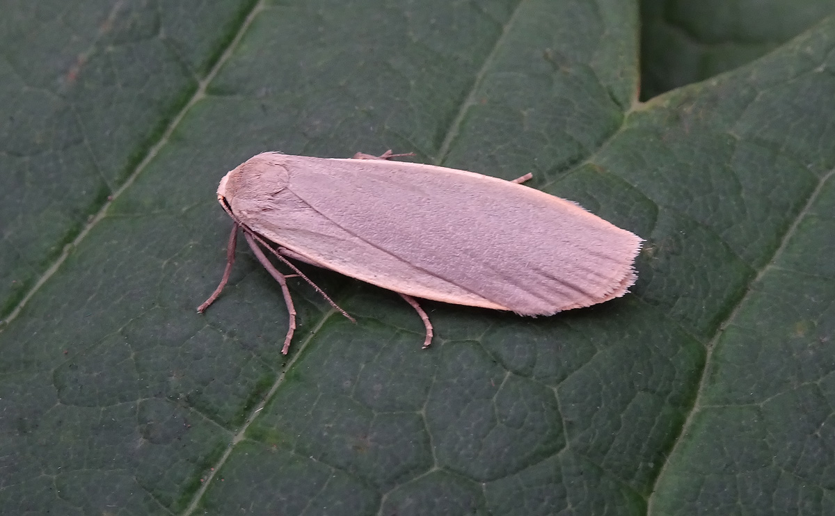 Dingy Footman DSC00957