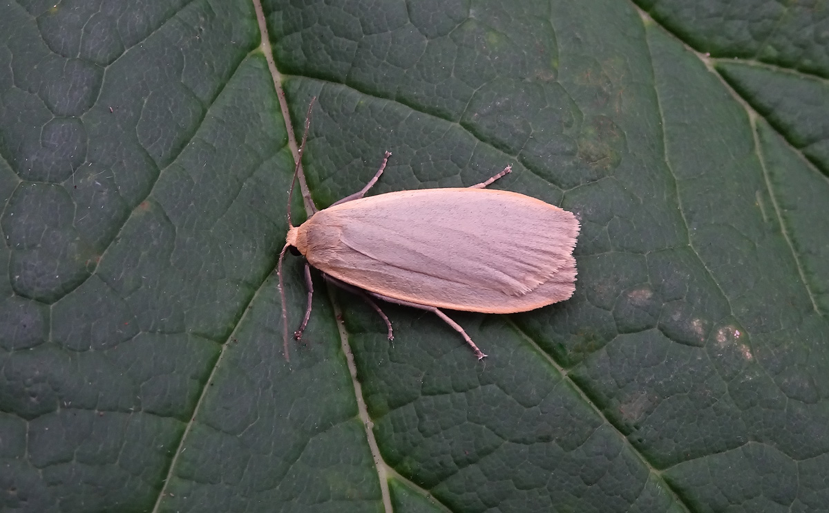 Dingy Footman DSC00959